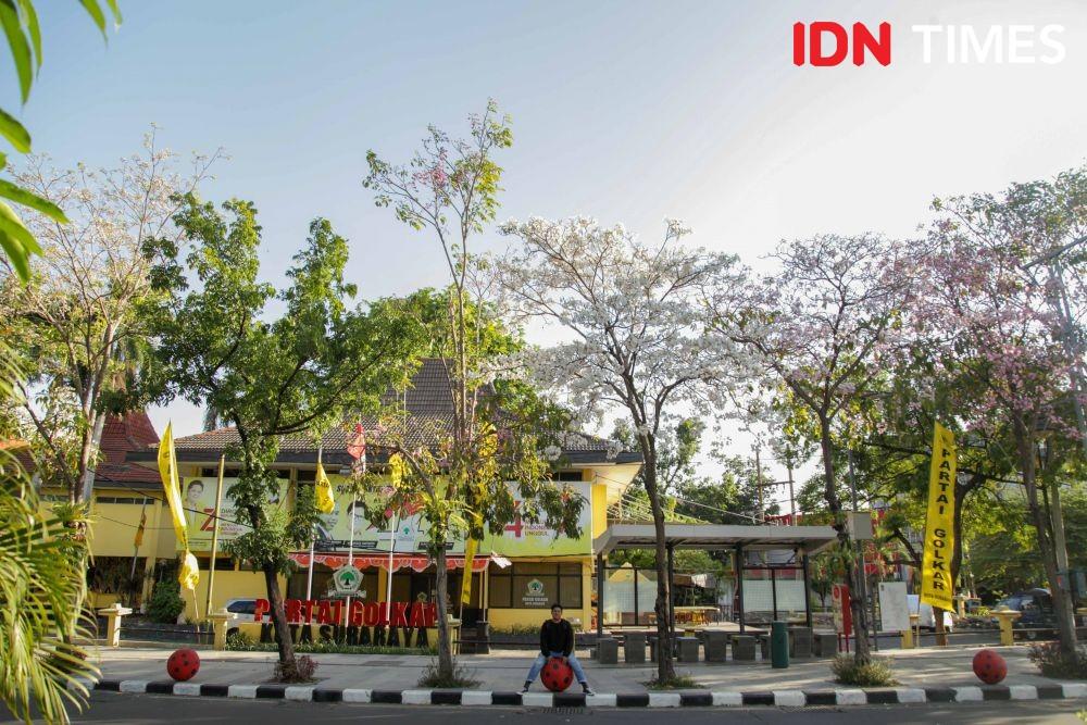 [FOTO] Tabebuya Berbunga Lagi, Surabaya Serasa Musim Semi