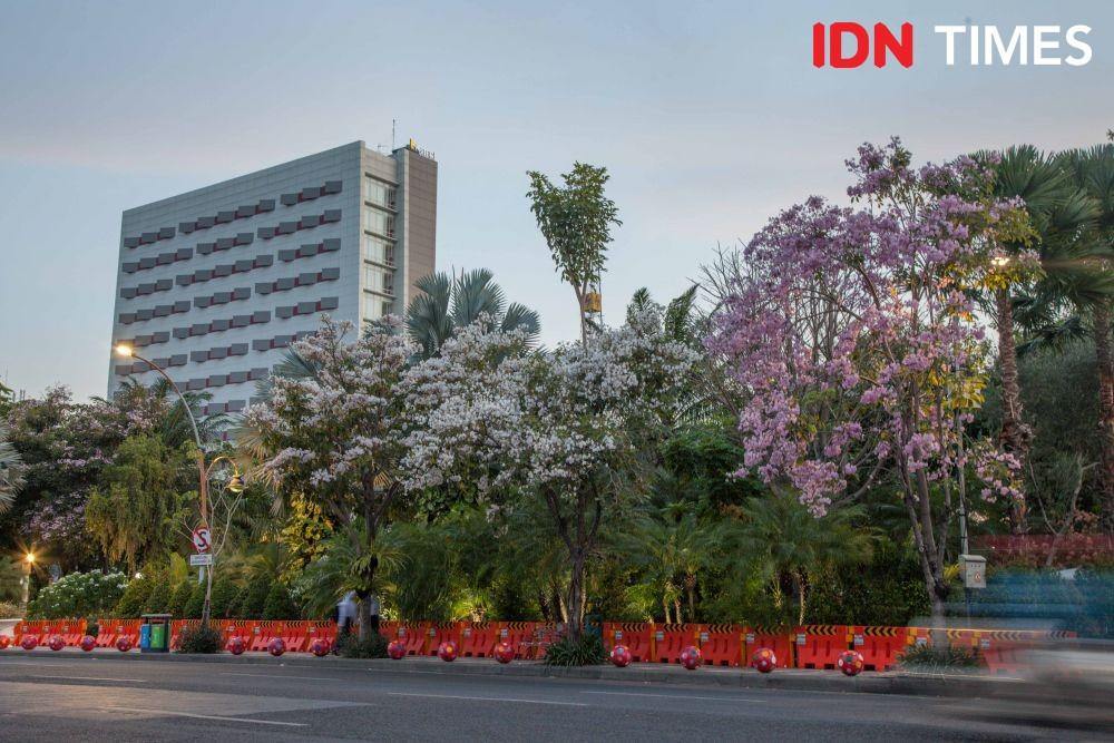 [FOTO] Tabebuya Berbunga Lagi di Surabaya, Bikin Hati Adem