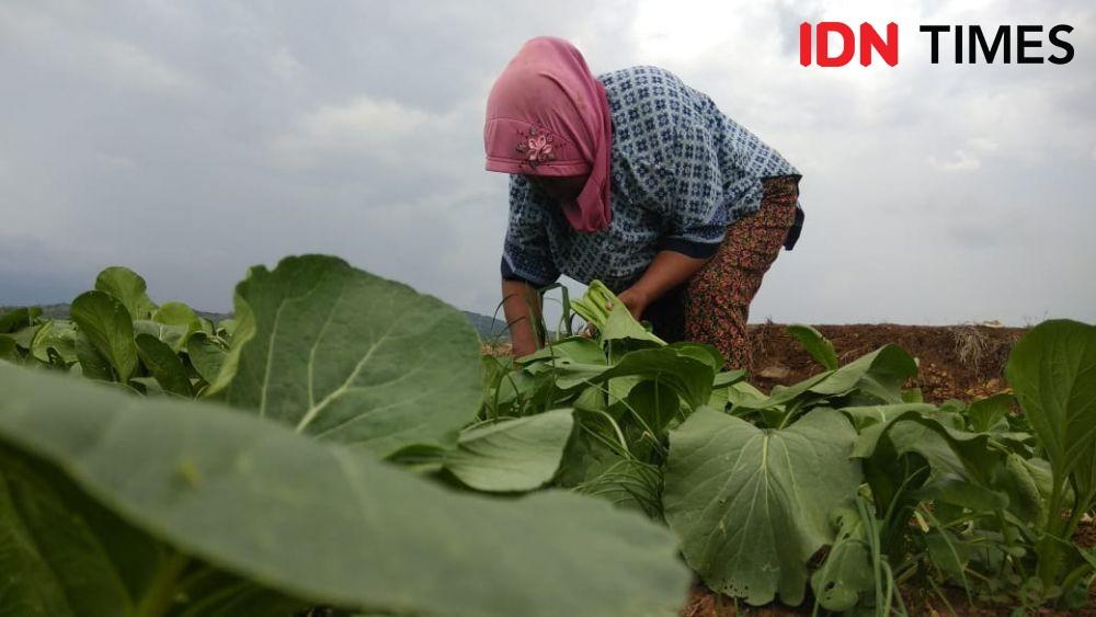 Ongkos Penyiraman Air Tambah Beban Petani Sayur Sawi di Bantul