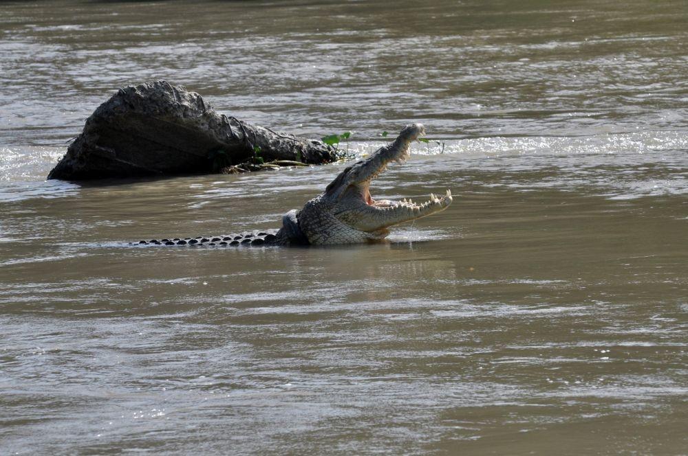 Geger, Anak Buaya Tersangkut di Jaring Nelayan Sungai Besitang