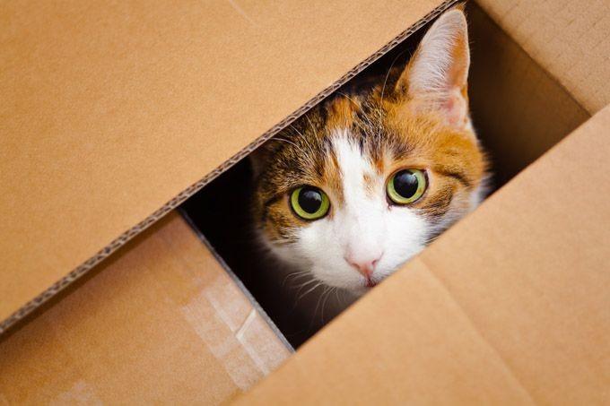 Kucing 101: Kenapa Kucing Menyukai Kardus? Ini Penjelasan Ilmiahnya!