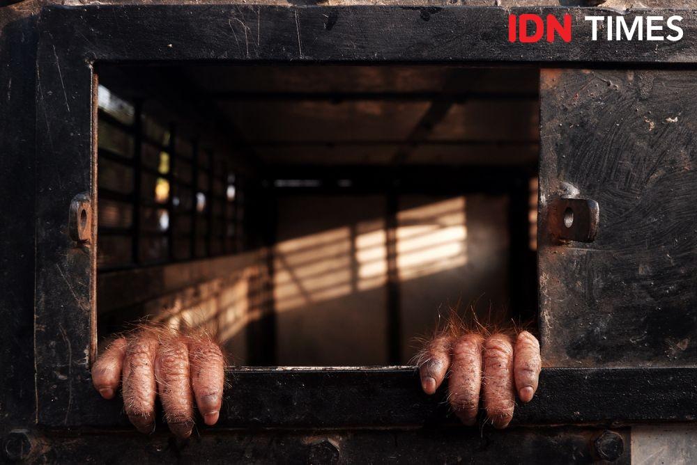 Orangutan di Rumah Bupati Taput Dilepasliarkan, BBKSDA Khawatir