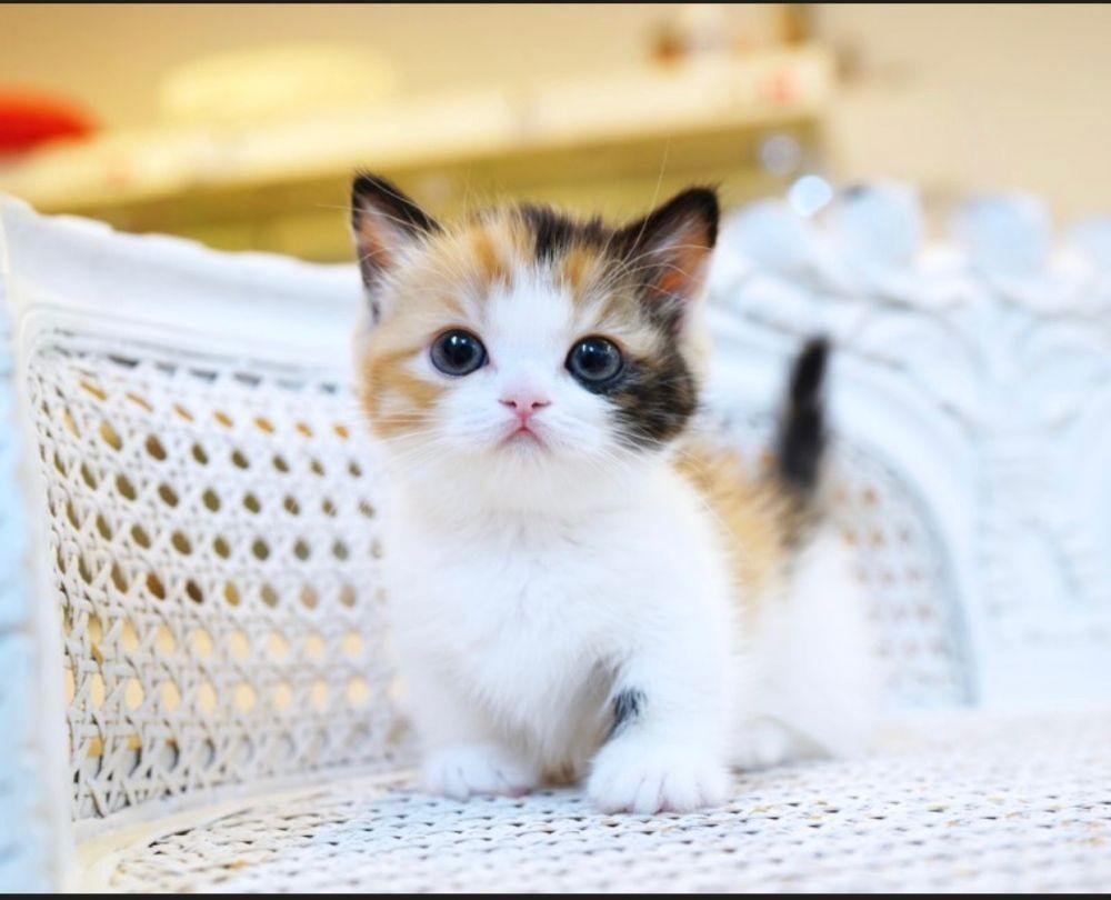 Ini 15 Ras Kucing Yang Paling Imut Ketika Masih Bayi Gemas Maksimal