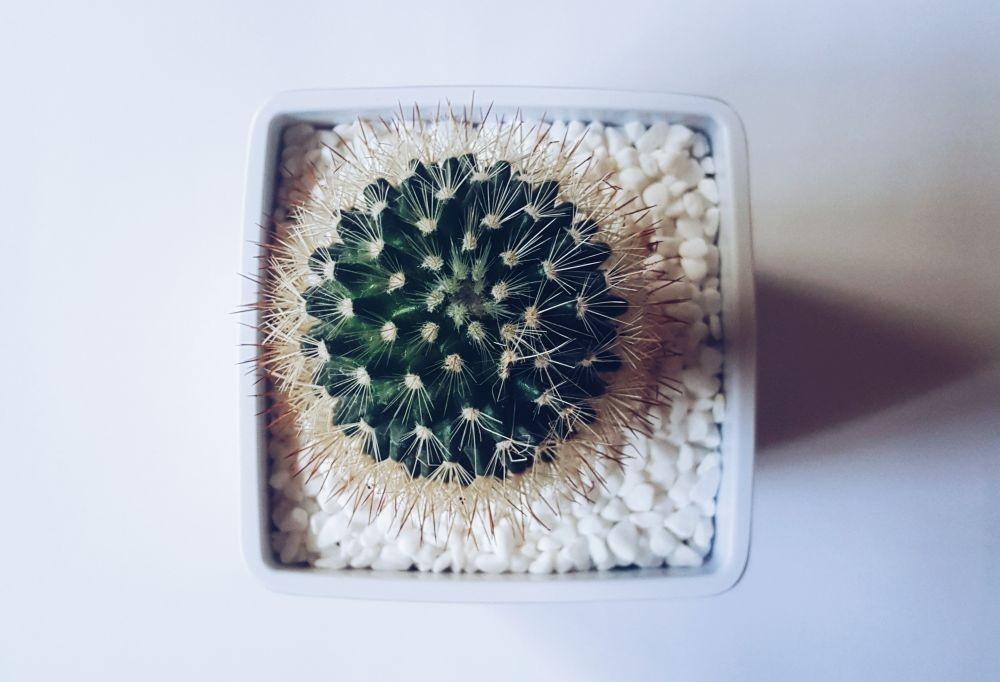 Rekomendasi 8 Jenis Kaktus Indoor, Mudah Dirawat dan Ada yang Berbunga