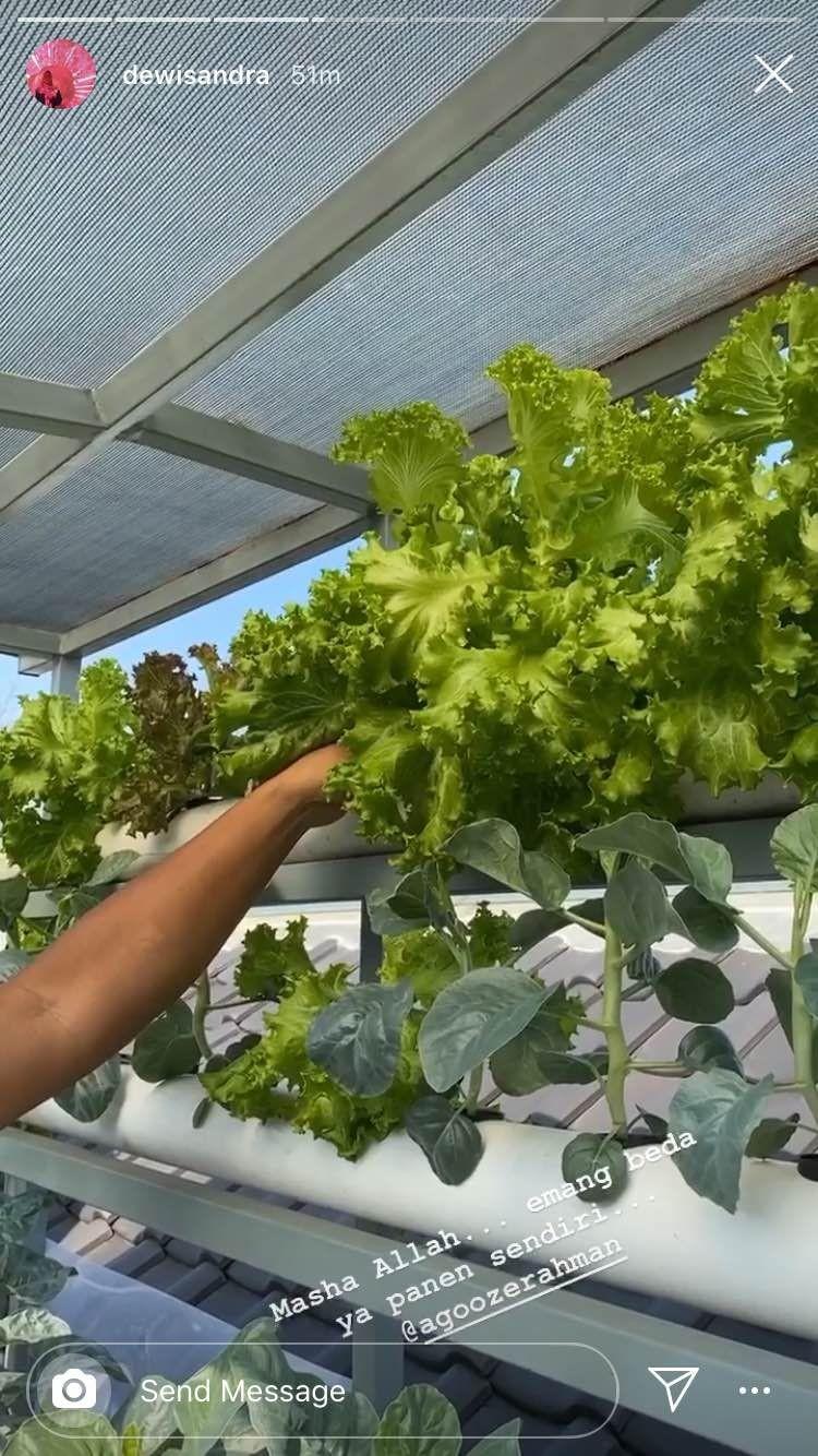 Menyontek Kebun Artis, Ini 9 Tanaman Sayur yang Cocok Ditanam di Rumah