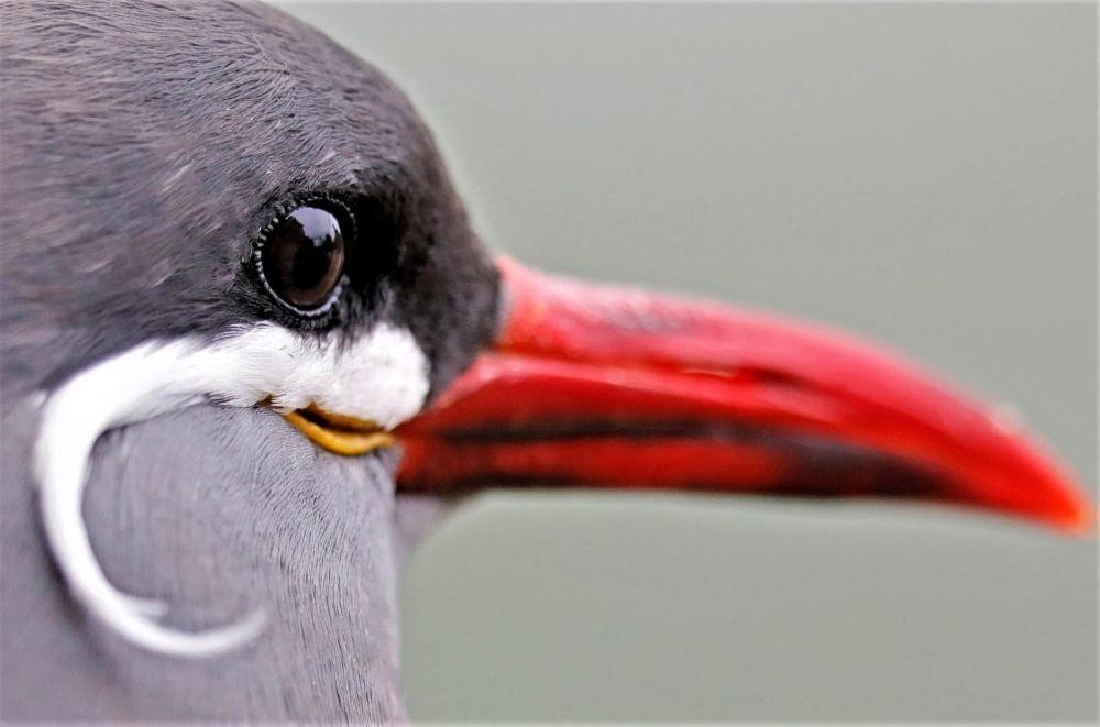 7 Fakta Inca Tern, Burung Berkumis yang Menggemaskan