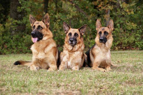 Gibran Siap Kaji Kebijakan Larangan Konsumsi Daging Anjing
