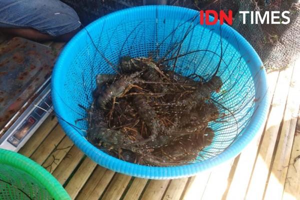 14 Pengekspor Benih Lobster Diduga Curang, Kiara Desak Regulasi Diubah
