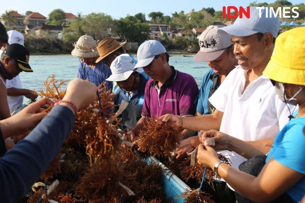 Pariwisata Lumpuh, Budi Daya Rumput Laut di Lembongan Bangkit Kembali