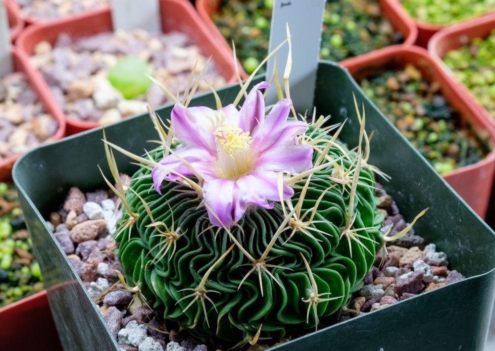 5 Kaktus Hias Manis untuk Hias Jendela atau Meja