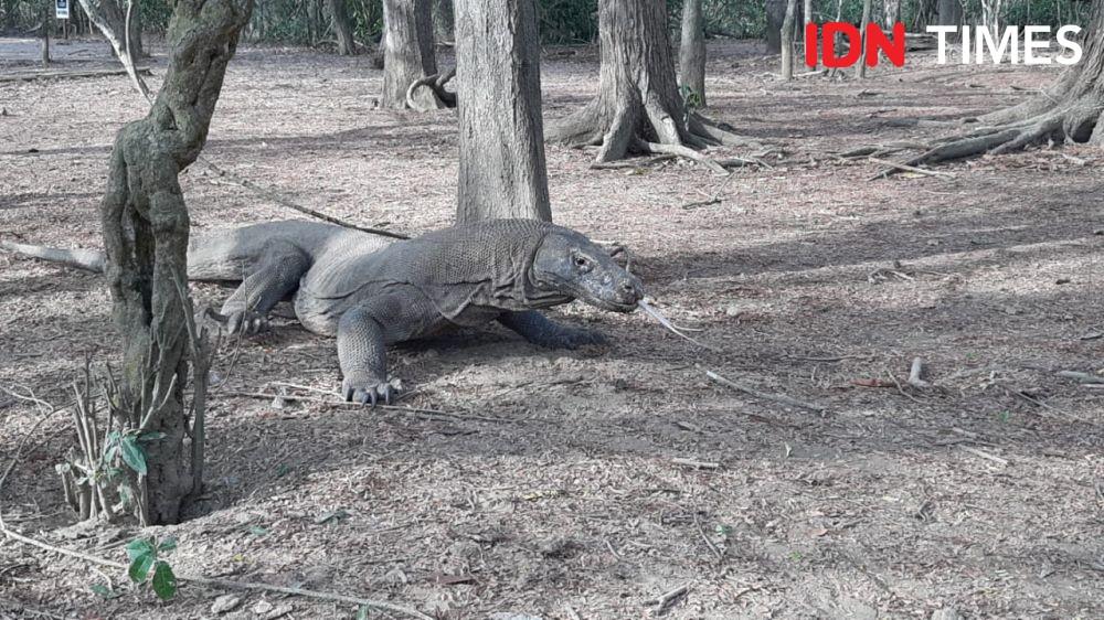 Guru Besar UGM: Pembangunan Jurassic Park Harus Cocok Habitat Komodo