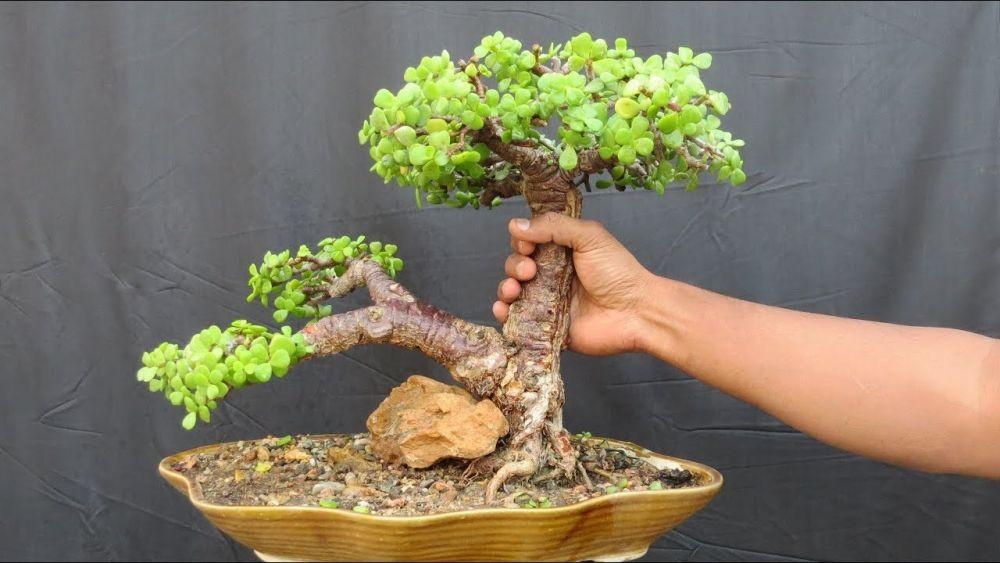 5 Tanaman Bonsai yang Cocok Dipiara dalam Rumah, Imut dan Elok Dilihat