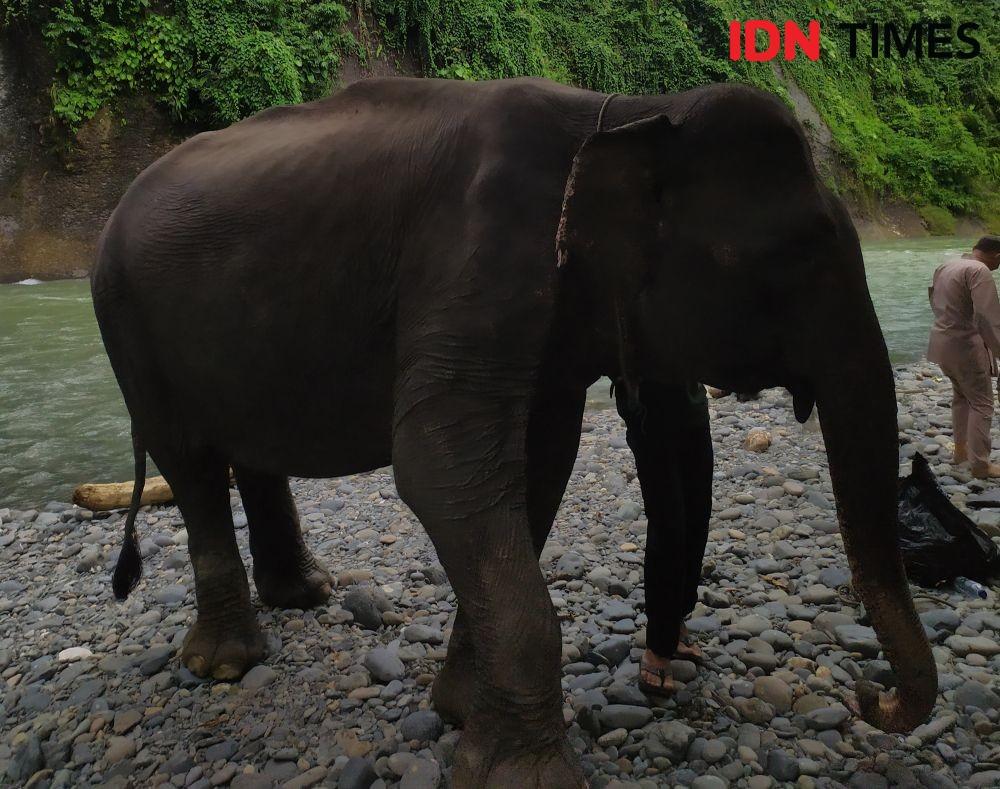 Mengintip Aktivitas Gajah Sumatra di Tangkahan