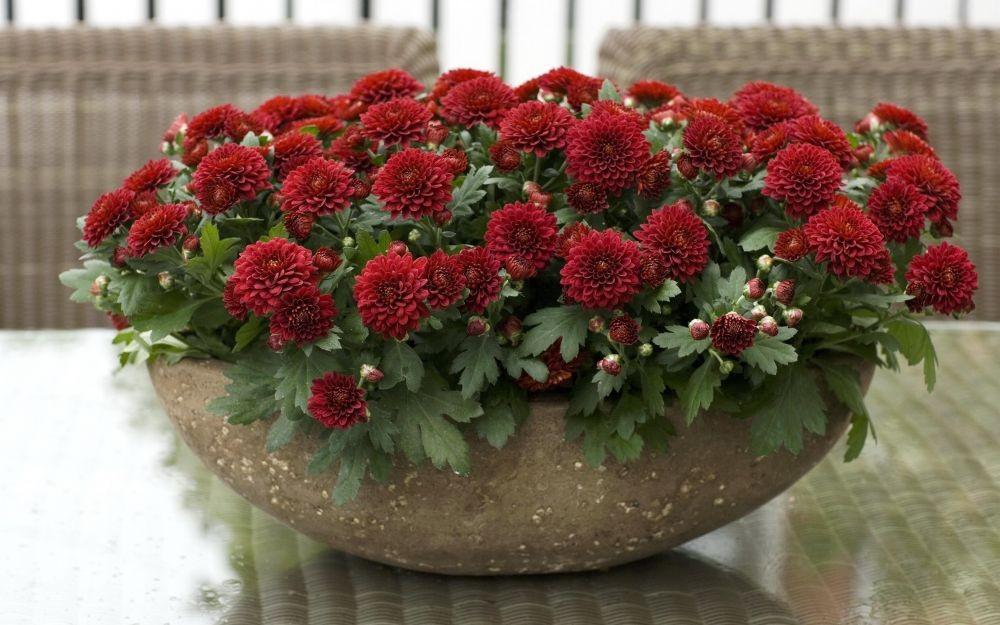 9 Jenis Bunga Krisan untuk Dekorasi Teras dan Balkon, Apik bak Pelangi