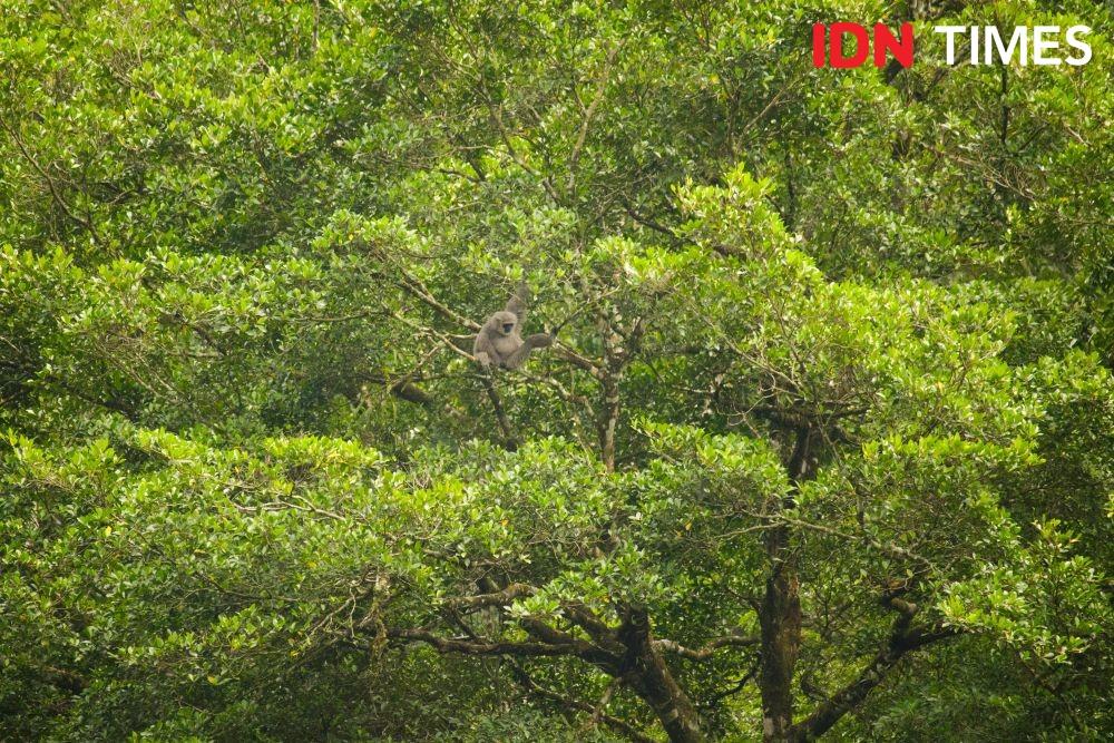 12 Potret Populasi Owa Jawa di Hutan Hujan Tropis Pekalongan