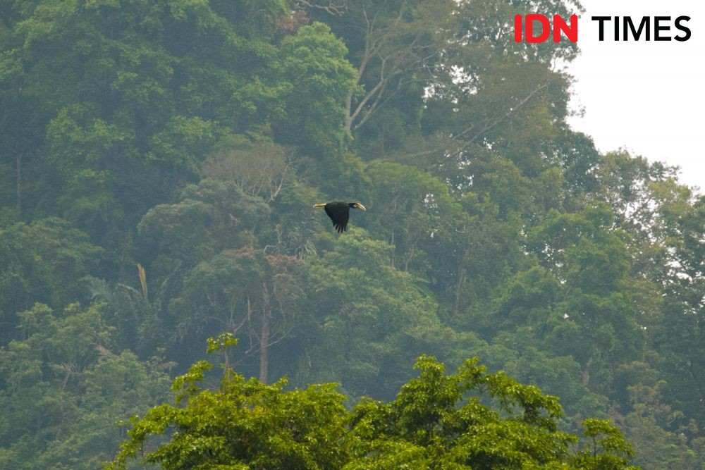 Petungkriyono Forest, located in the lowlands, also serves as the habitat for the Golden Hornbill (Aceros undulatus).