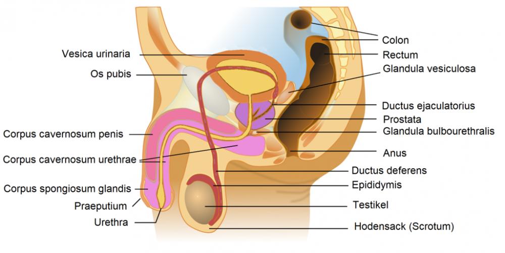 Memahami Sistem Reproduksi Pria, Aneka Fakta dan Fungsinya