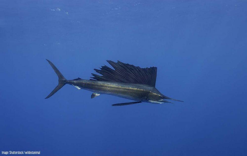 7 Jenis Ikan dengan Kecepatan Tertinggi, Ngebut Banget