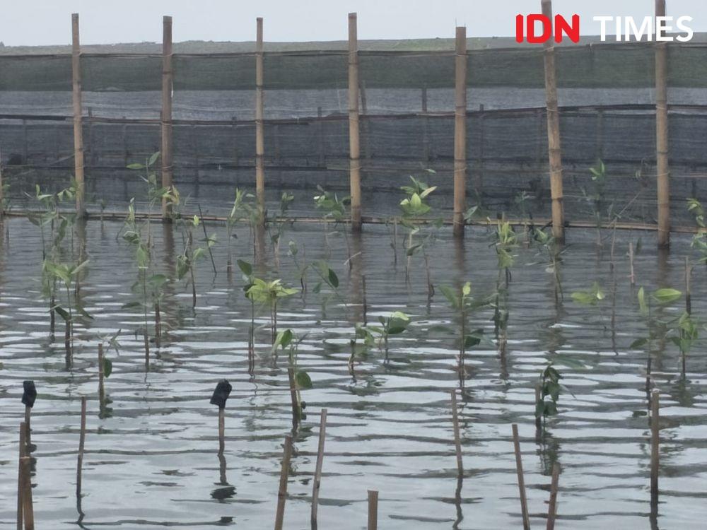 Lestarikan Mangrove, Sancoko Selamatkan Laguna Pantai Samas